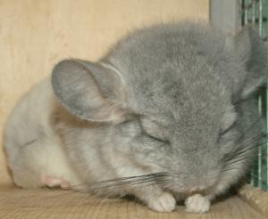 Шиншилла спит днем