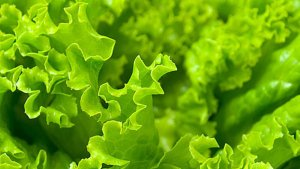 Сочная зелень салата