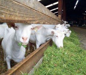 Свежая трава для коз