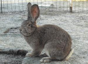 Трехмесячный кролик