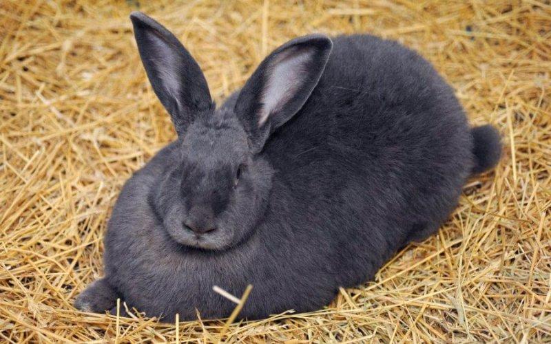 Ухоженный кролик