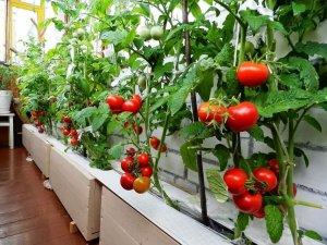 Урожай томатов в квартире