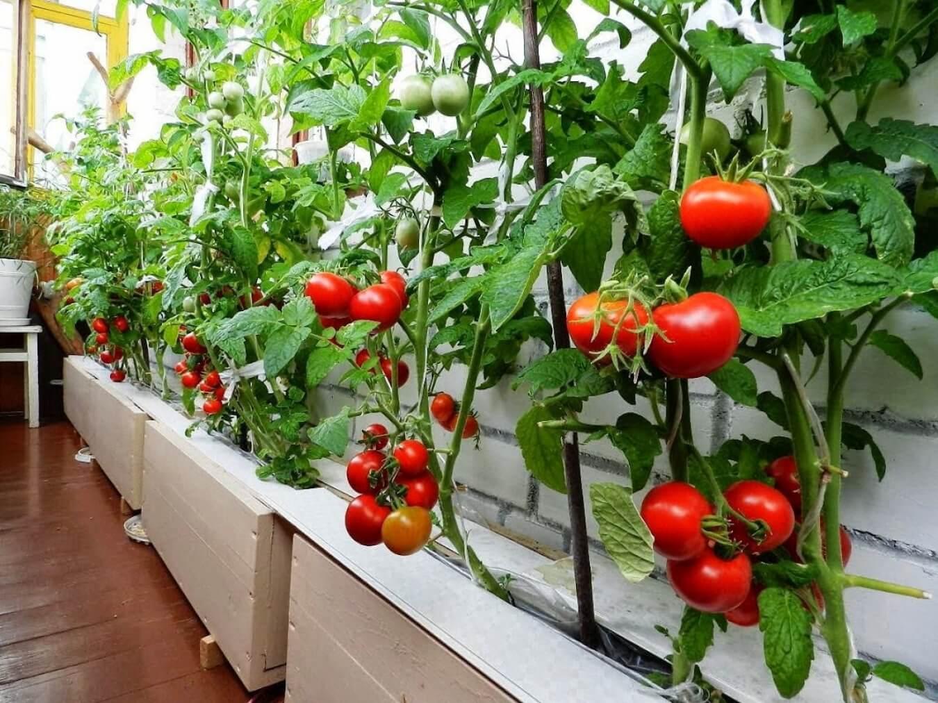 Можно ли осуществить выращивание овощей в квартире