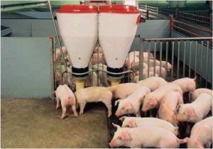 Выгода свиноводства