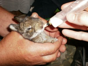 Выкармливание крольчат