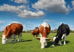 Выпас коров на пастбище