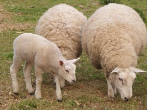 Асканийские овцы