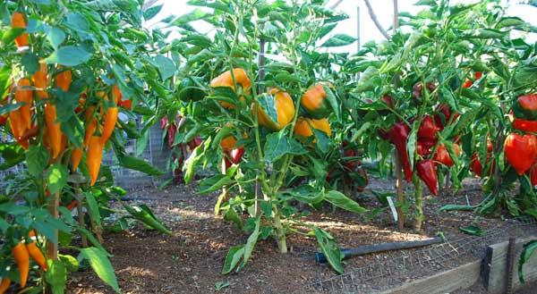 Перец в теплице: выращивание, формирование куста и уход