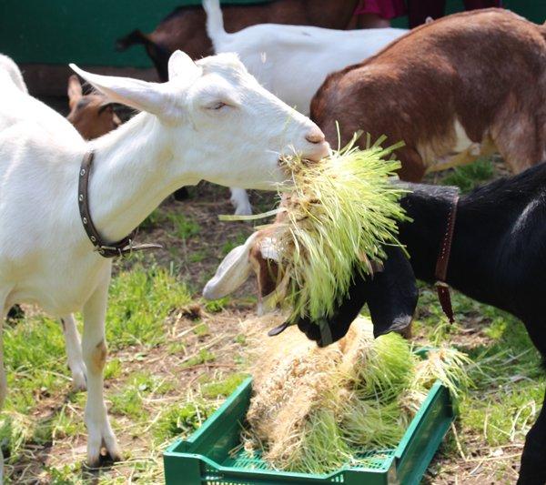 Качественные корма - залог здоровья коз