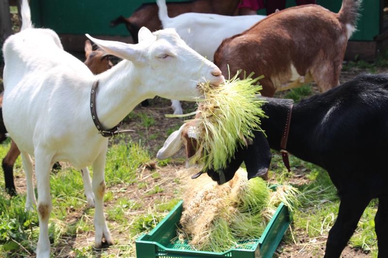 отравление у козы симптомы и лечение