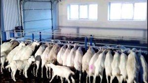 Кормление коз на ферме
