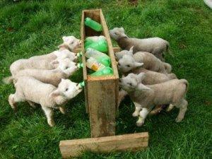 Кормление козлят