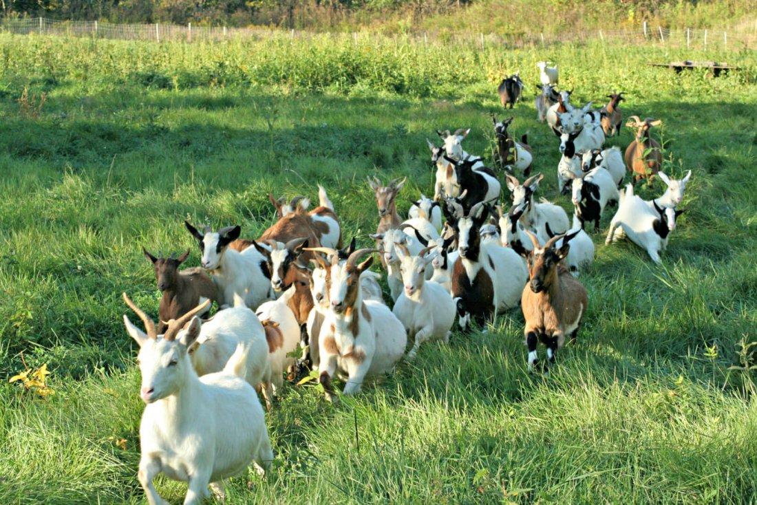 Разведение коз как бизнес рентабельность в домашних условияхРазведение до бизнес особенности