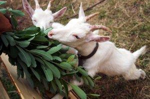 Козья ива для коз