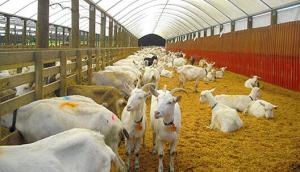 Масштабное разведение коз