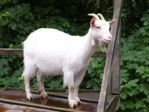 Мергельская коза