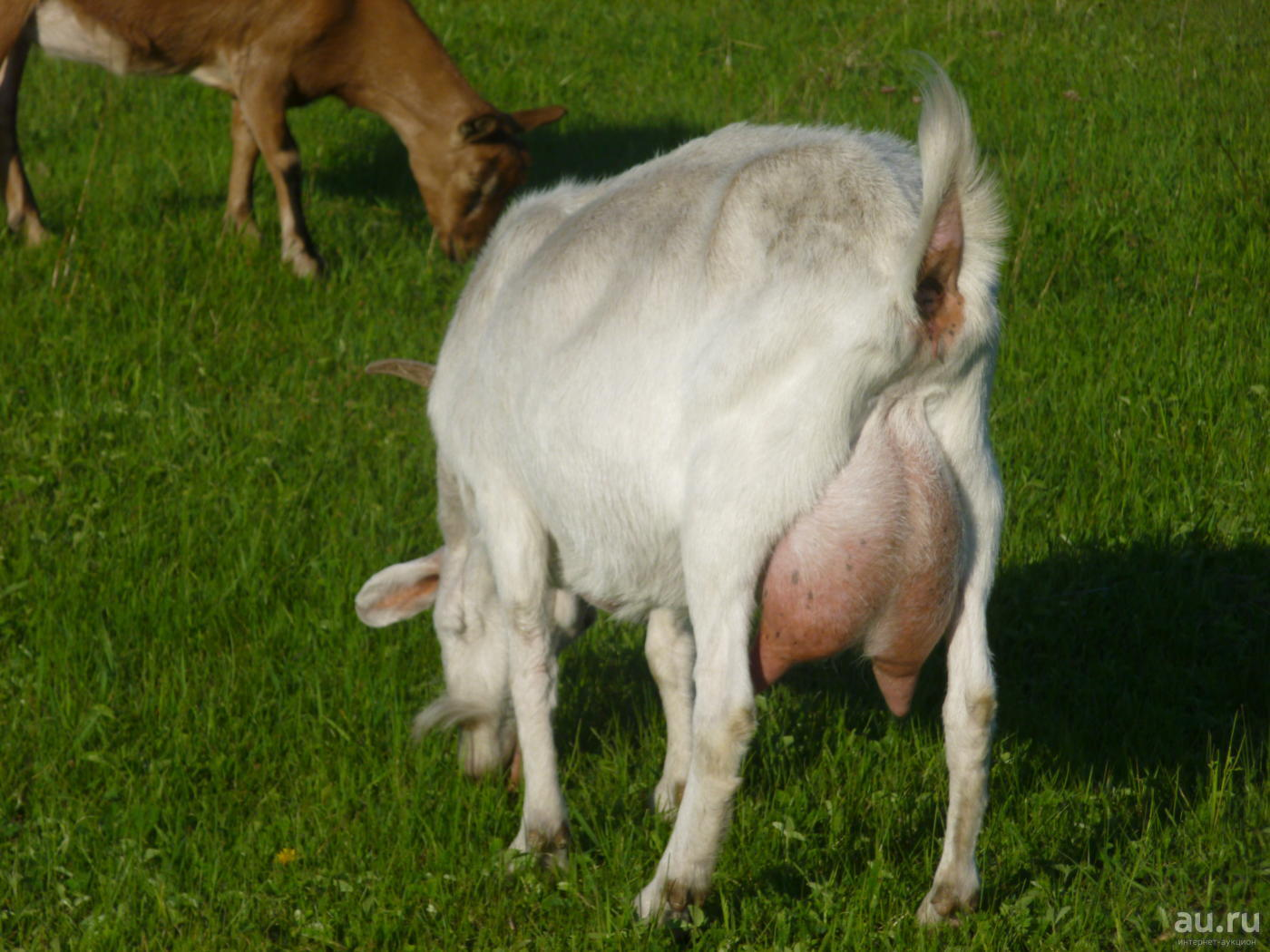 Породы коз молочного направления: особенности каждой породы