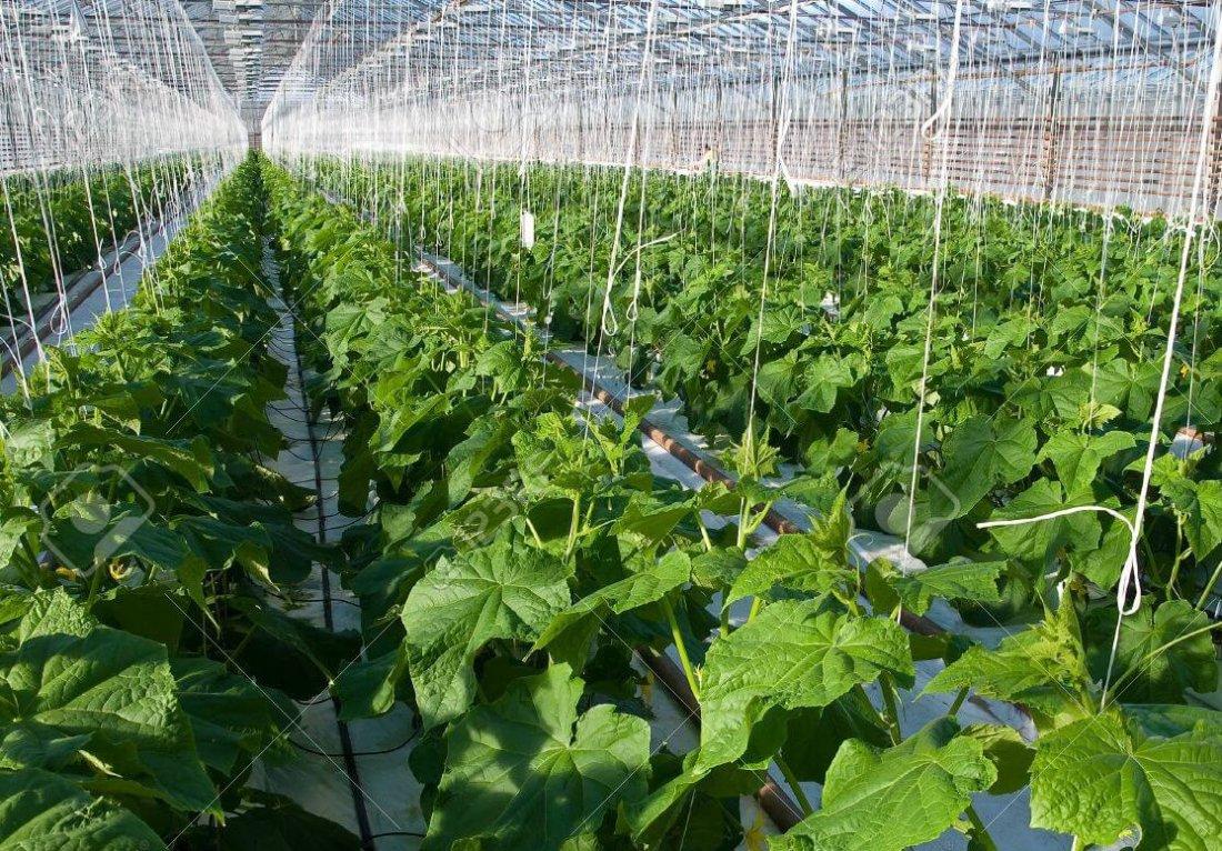 Урожайность огурцов зимой в теплице
