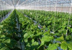 Выращивание огурцов в теплице зимой: преимущества