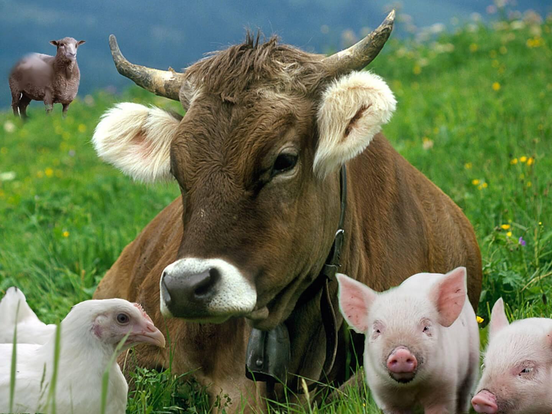 Чем отличаются отрасли животноводства в России, их формирование