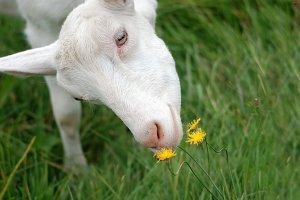 Половозрелая коза
