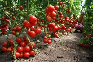 Томаты: выращивание и уход в теплице, которую готовим к посадке