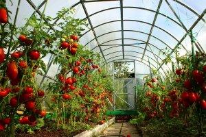 Выращивание овощей в теплице из поликарбоната: информация для начинающих садоводов от опытных специалистов