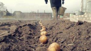 Ранняя посадка картофеля