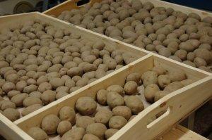 Подготовка картофеля к посадке весной, когда доставать на проращивание и как высаживать