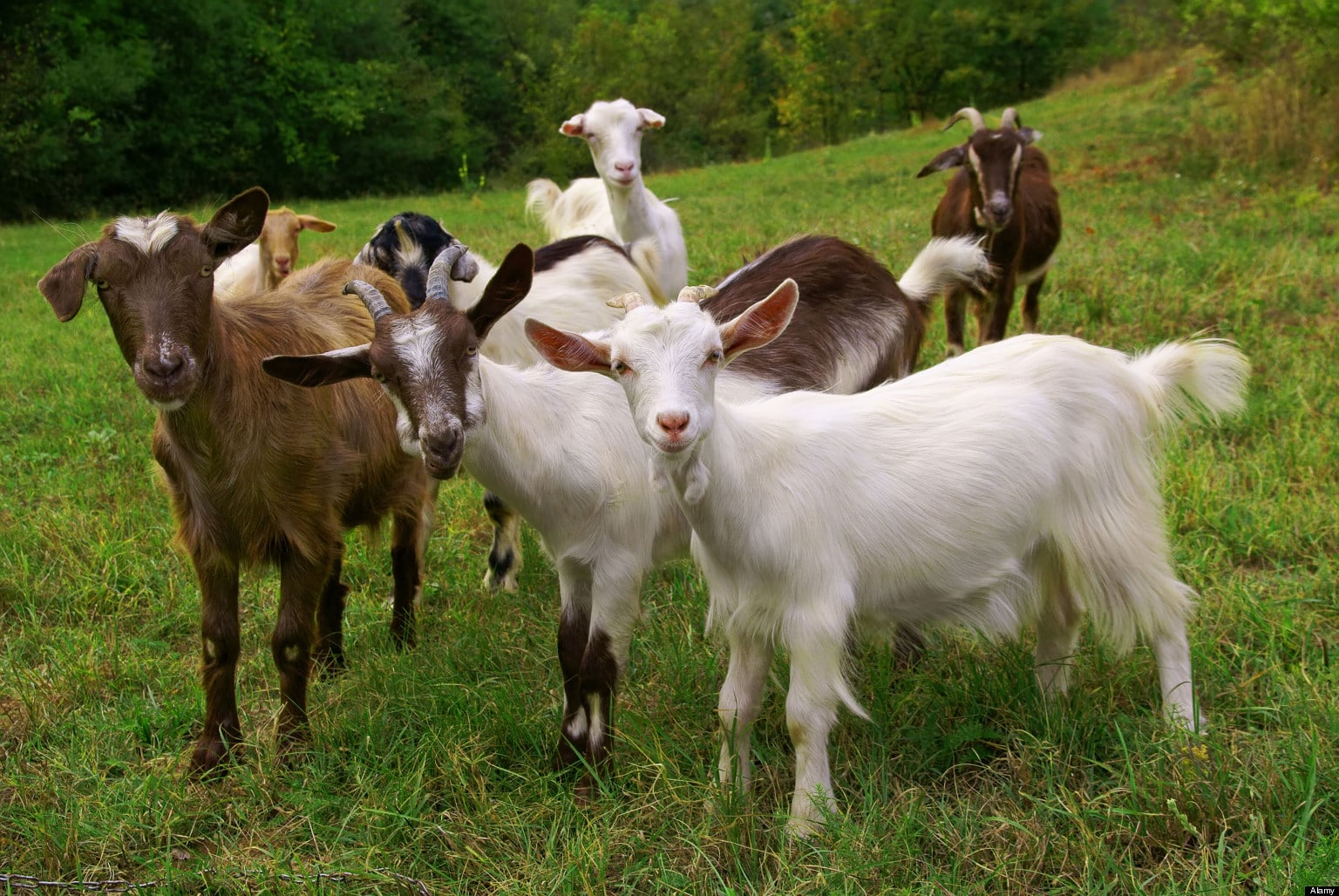 Какие бывают молочные породы коз: отличия и характеристики
