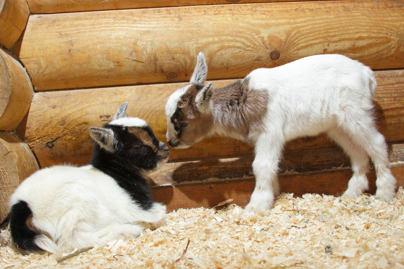 Козоводство: разведение и содержание коз и козлят