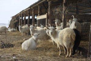 Рентабельность разведения коз