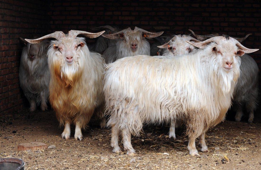 Шерстные козы
