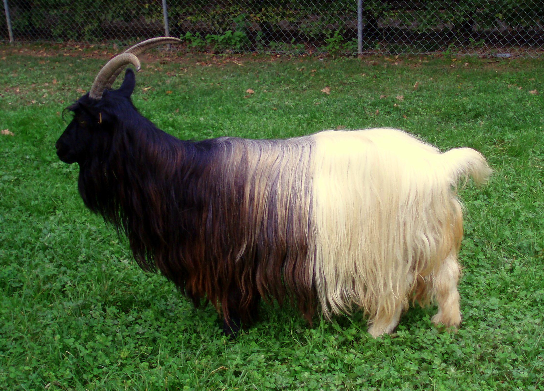 Шерстные породы коз: свойства и некоторые отличительные особенности