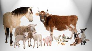 Сельско-хозяйственные животные