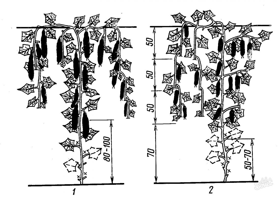 Схема формирования огурца в теплице