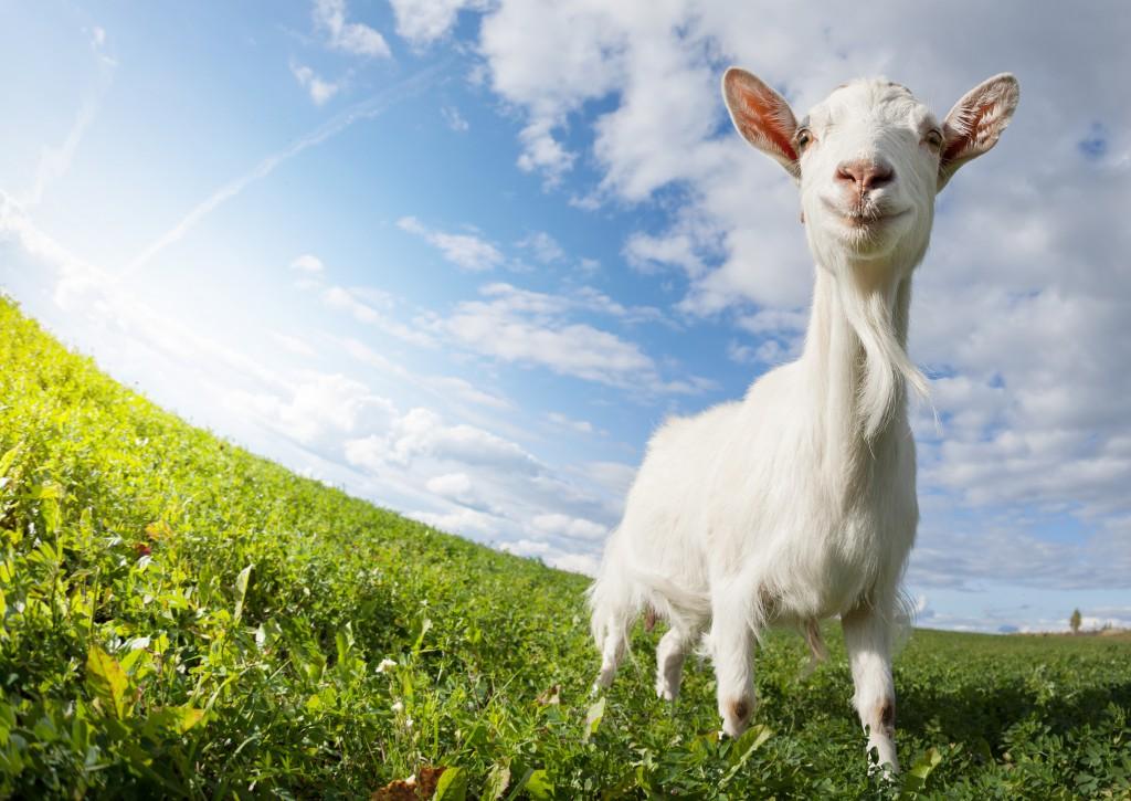 Основные породы коз для домашнего разведения и бизнеса
