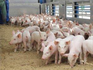 Свиноводство - прибыльный бизнес