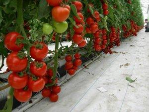 Из каких этапов и направлений состоит выращивание овощей в теплице как бизнес