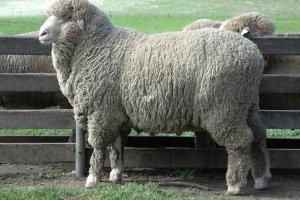 Тонкорунные овцы