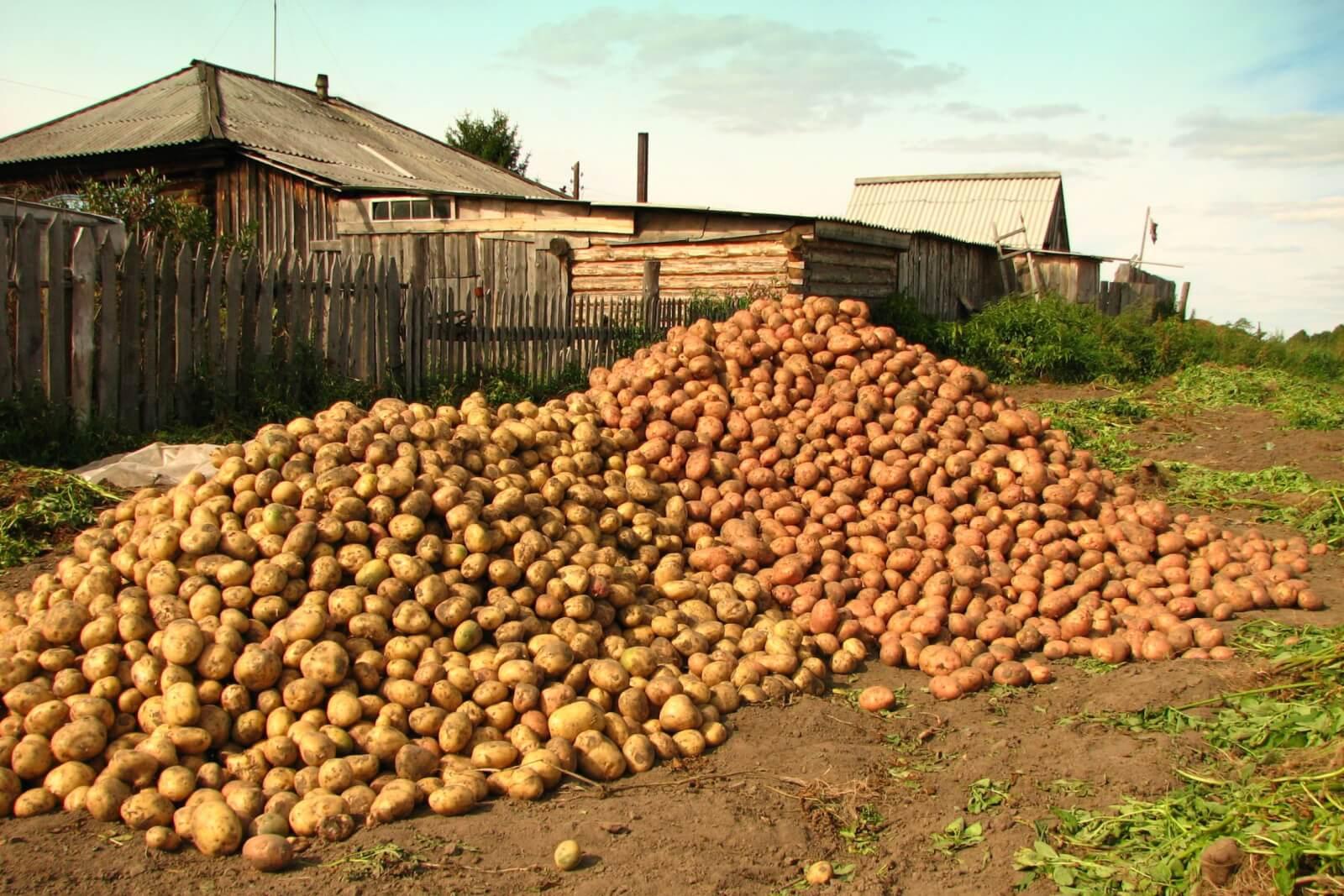 Сортовой картофель: урожайность с 1 сотки,  практические рекомендации