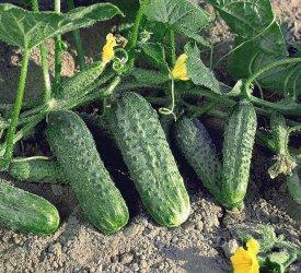 Урожай в открытом грунте