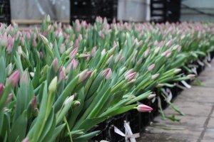 Выгонка тюльпанов на продажу