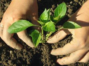Высадка перечной рассады в почву