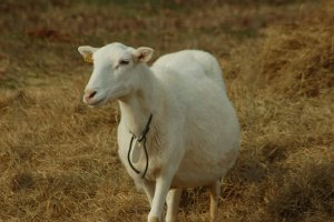 Коза беременная