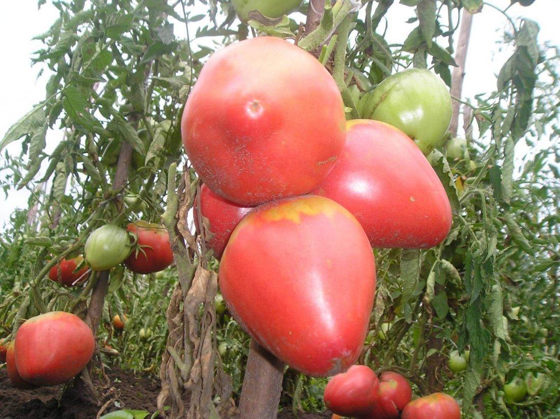 Крупноплодные низкорослые сорта