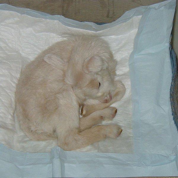 Новорожденный козленок