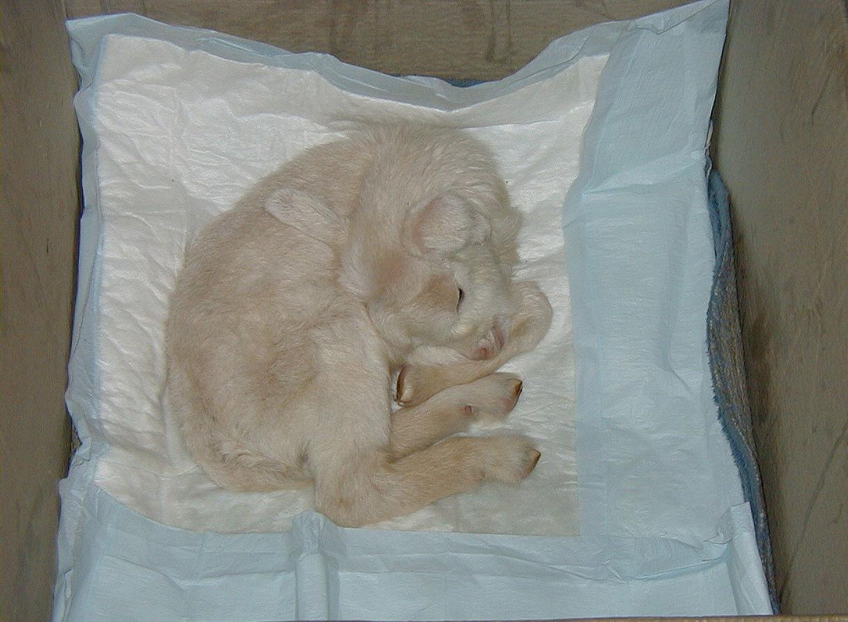 Кормление и содержание козлят в молочный период: уход за потомством