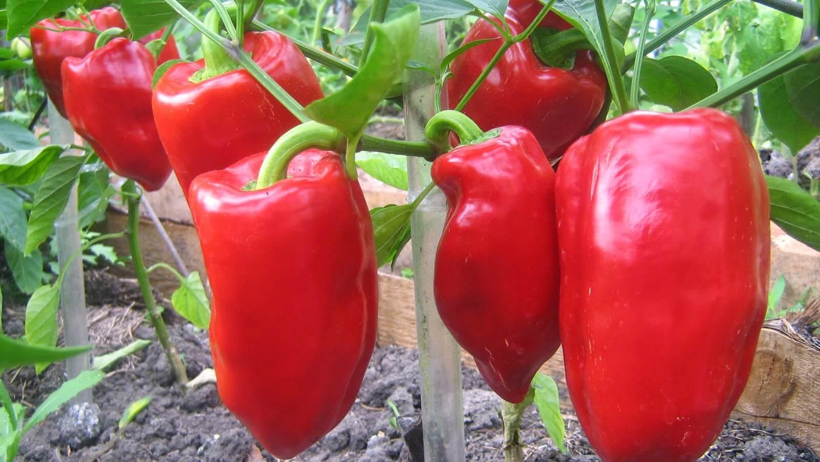 Сладкий болгарский перец: сорта для открытого грунта