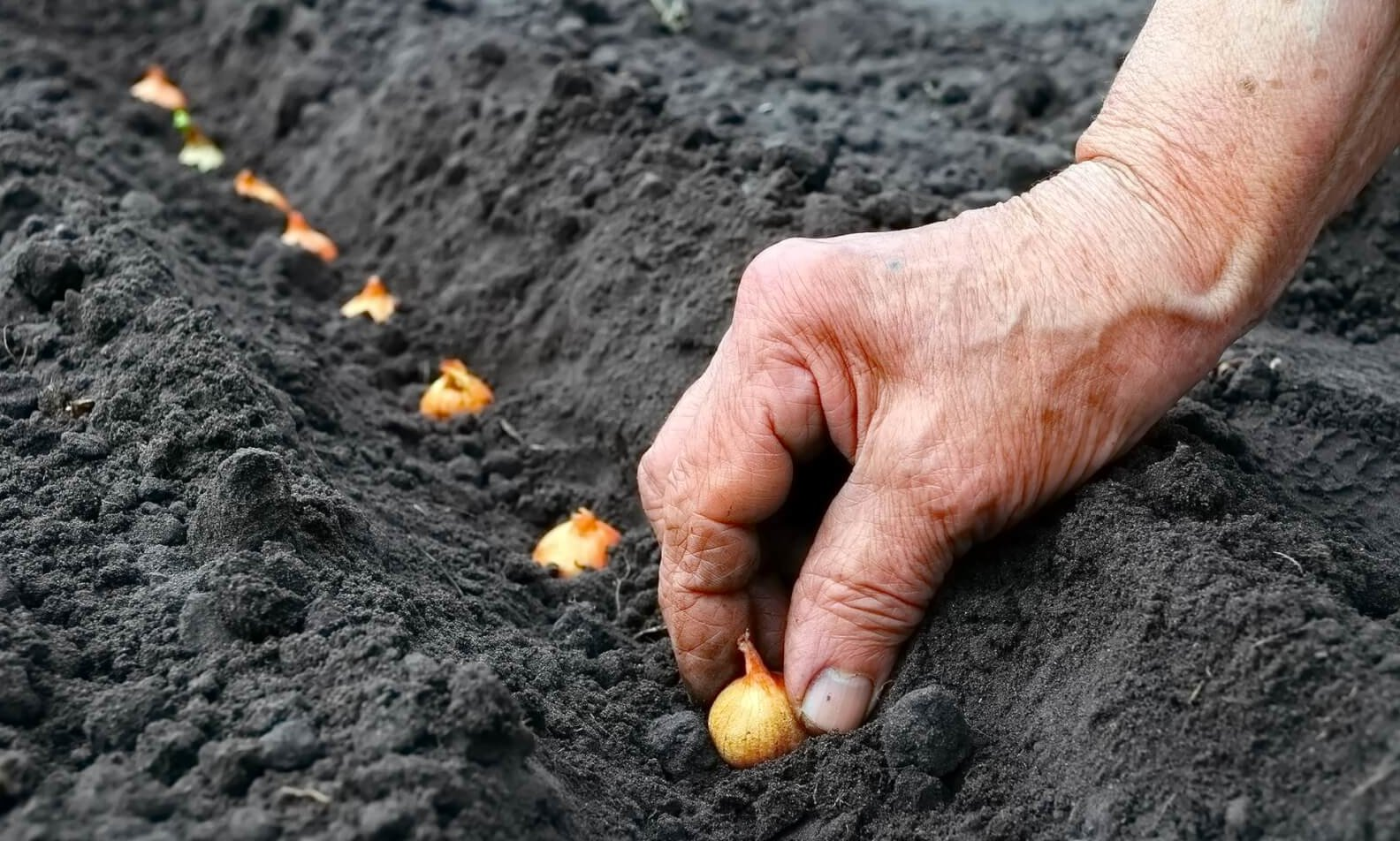 Время и схема посадки лука: от чего зависит урожайность и способы